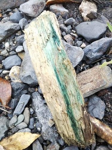 緑青ぐされ菌1.jpg